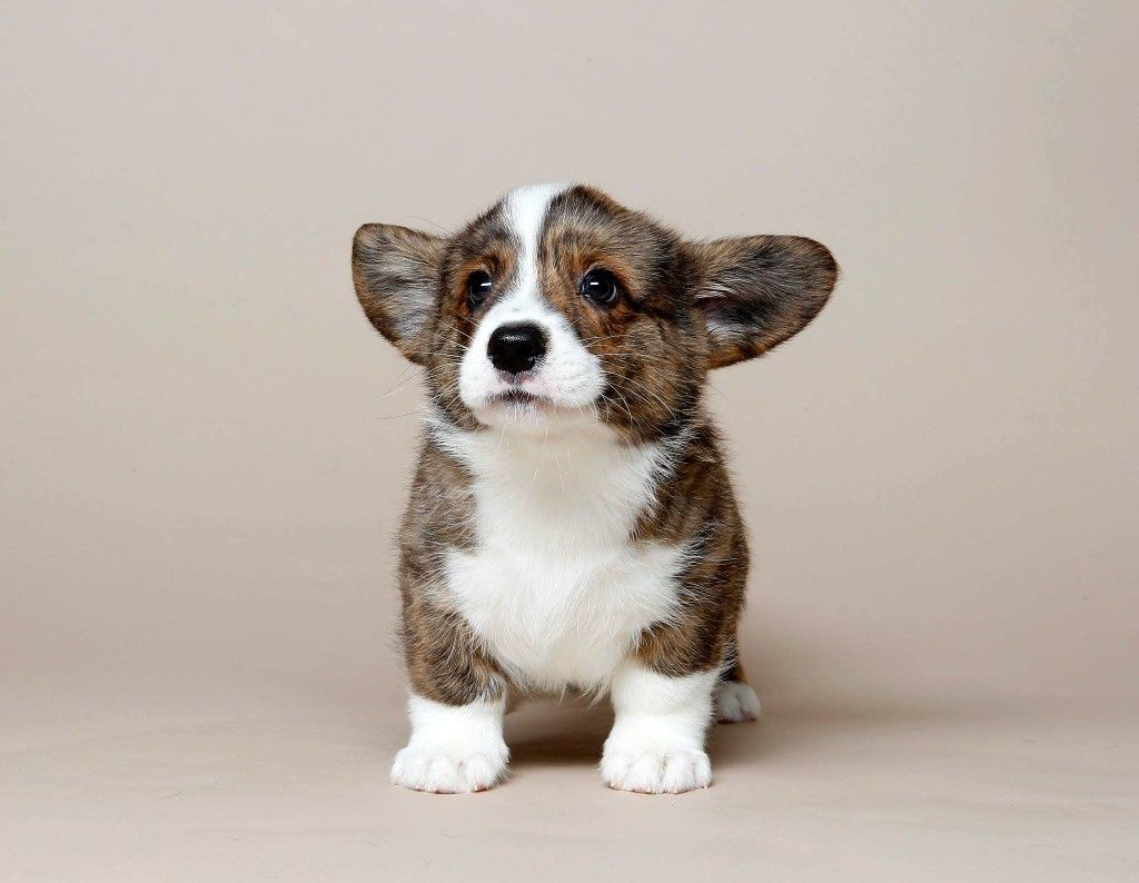 Cardigan Welsh Corgi Brindle Cute Corgi Corgi Dog Cute Baby