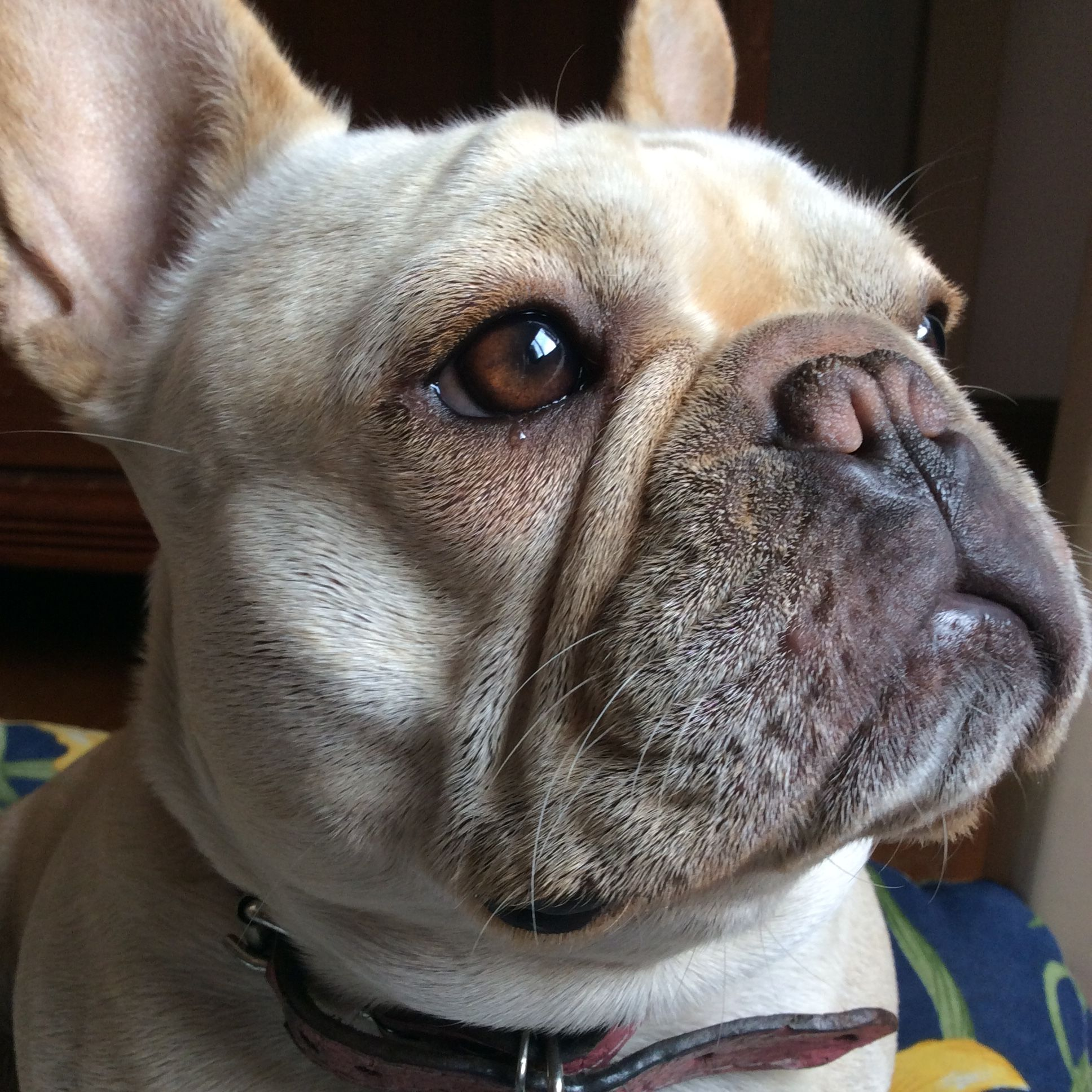 French Bulldog French bulldog, Bulldog puppies, Cute dogs