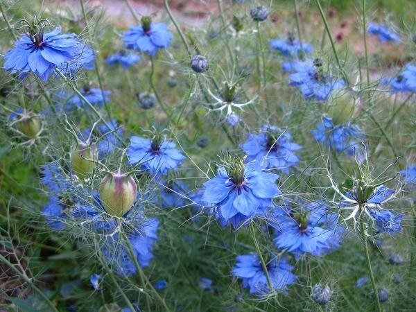 Love In The Mist Plants Flowers Edible Flowers