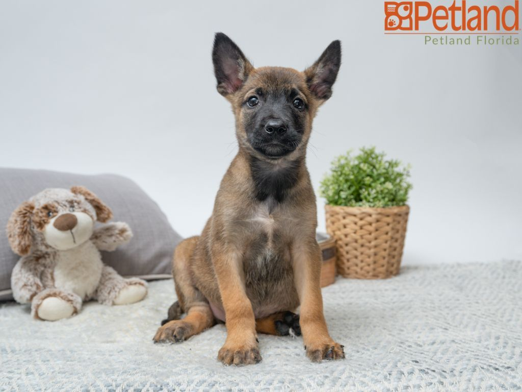 Petland Florida Has Belgian Malinois Puppies For Sale Check Out All Our Available Puppies Belgianm Puppy Friends Belgian Malinois Puppies Malinois Puppies