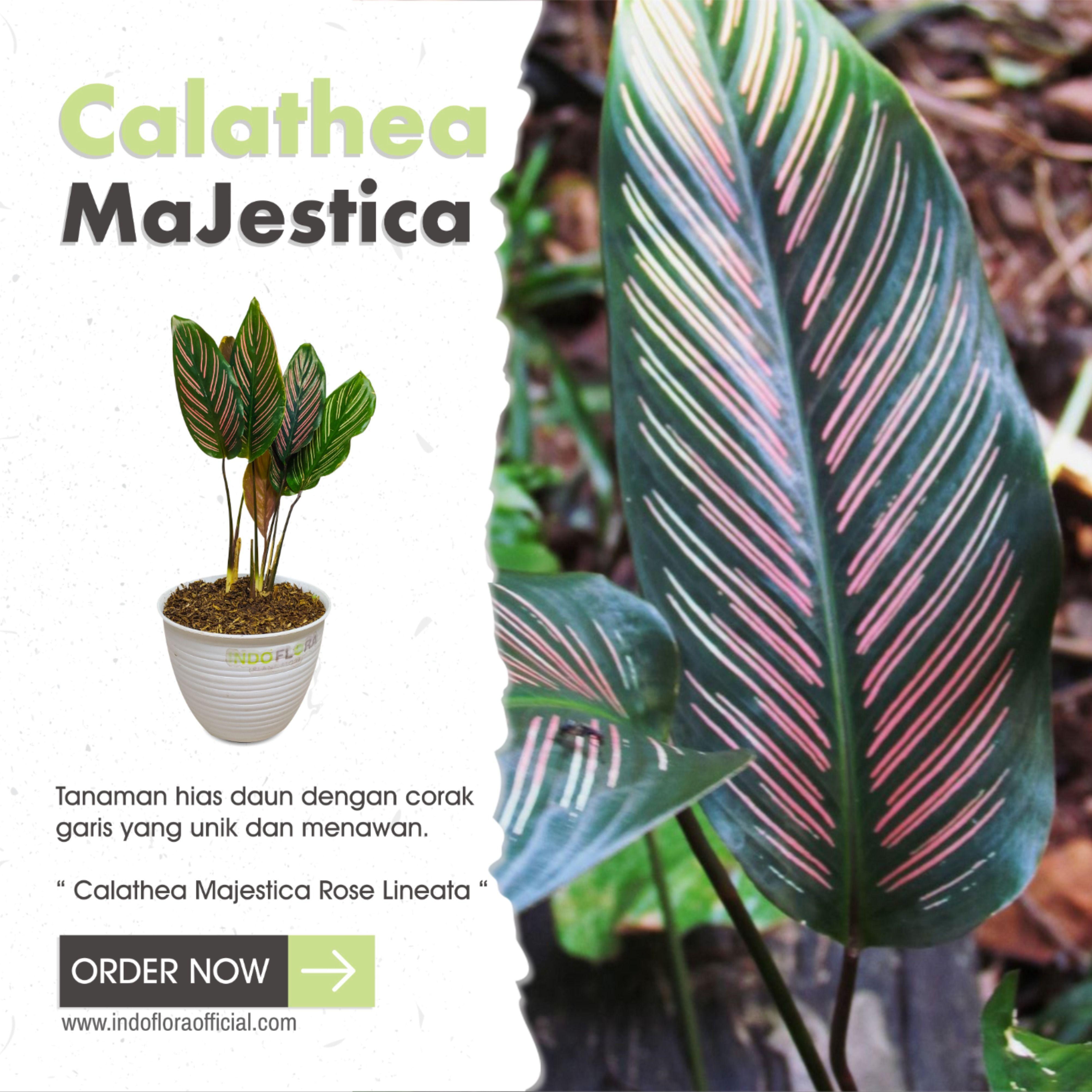 Calathea Majestica Calathea Calathea Majestica Plant Leaves