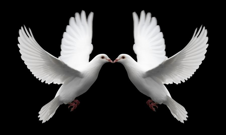 A Pair Of White Doves In Flight Symbolize Love Forever And Eternal