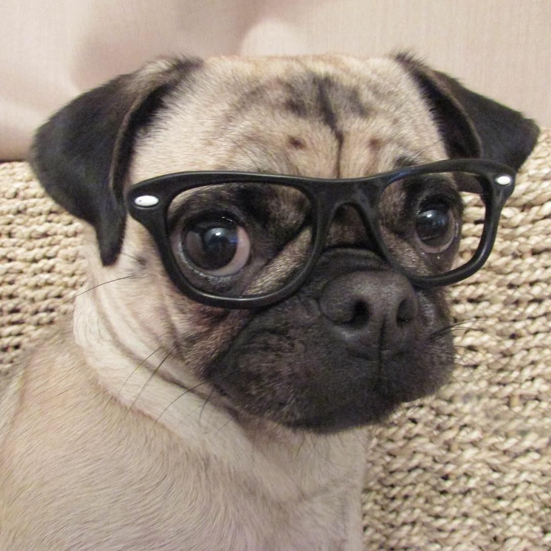 Who S The Cutest Among These Pugs With Glasses Pugs Pugs In
