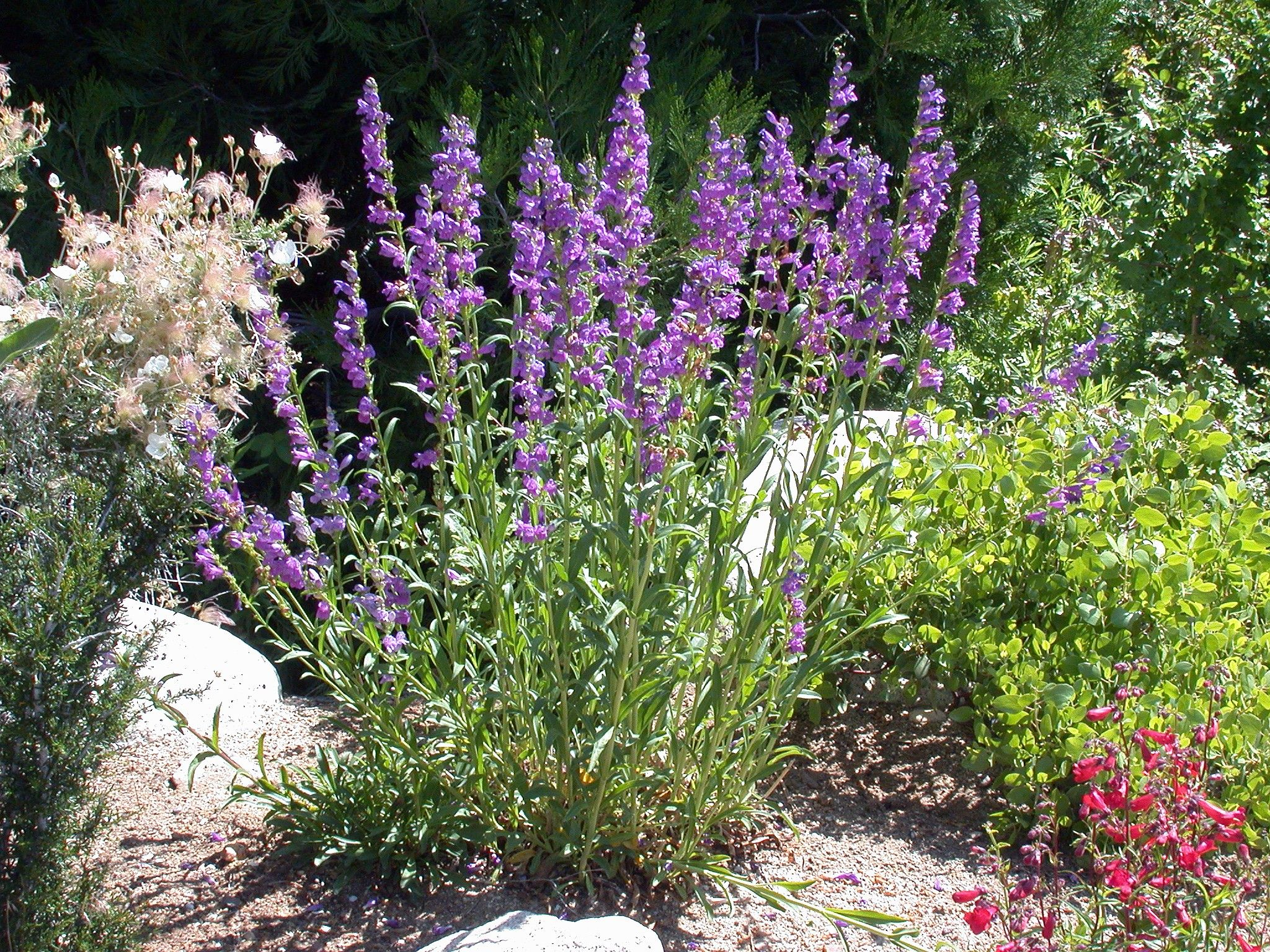 Rocky Mountain Penstemons (Penstemon Strictus) For Taller Xeriscape Plantflowering Bush