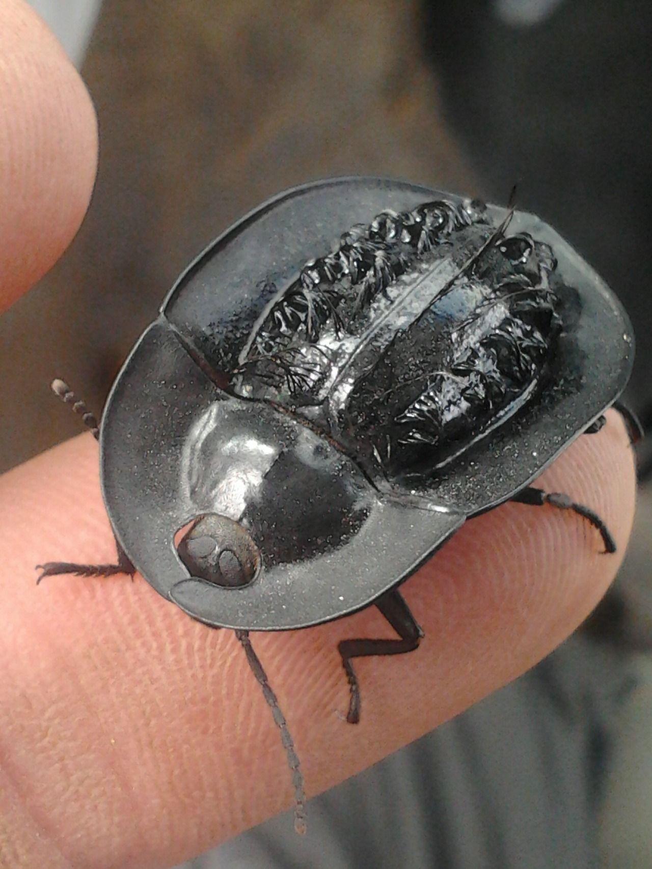 Helea perforata, Hairy Pie-dish Beetle