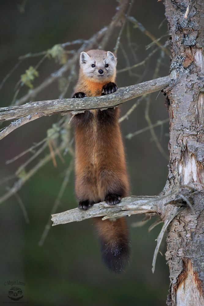 Pine Marten by Megan Lorenz on 500px