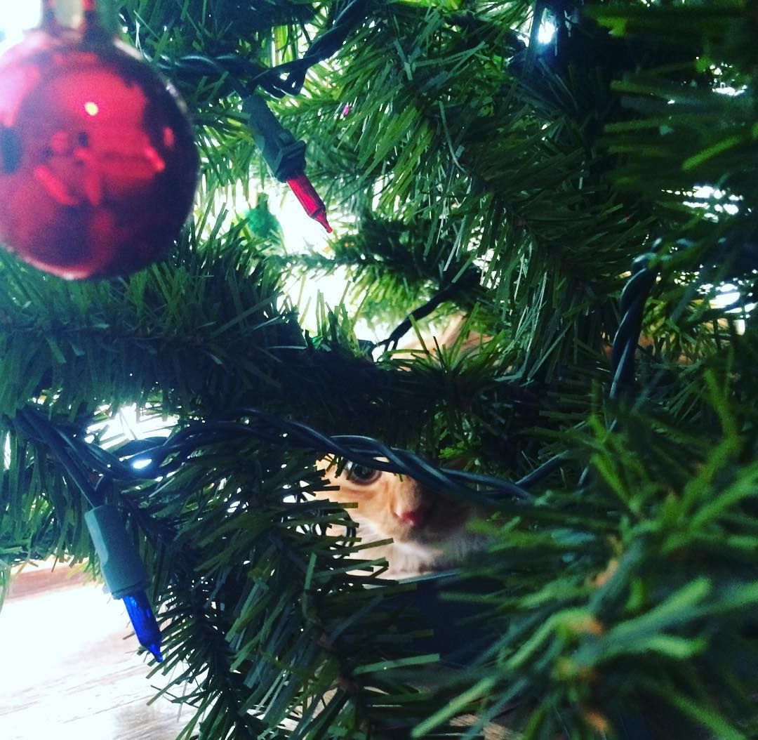 Tis the season! Tater Tot can't decide if he wants to be naughty or nice!  #happyholidays #kitten #christmastree #catinachristmastree #cute