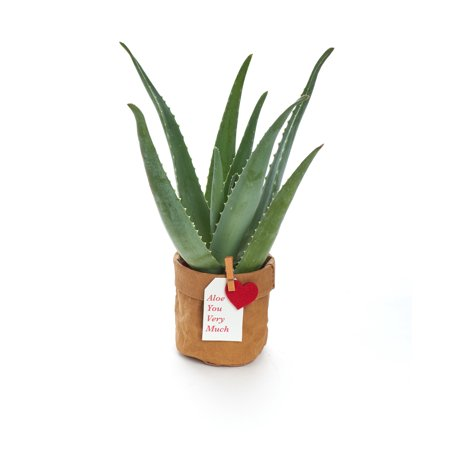 Aloe You Very Much Aloe Succulent In Kraft Pot Succulent Planter Gift For Him Or Her Indoor Plant Decor Walmart Com Plant Decor Indoor Planter Gift Plant Decor