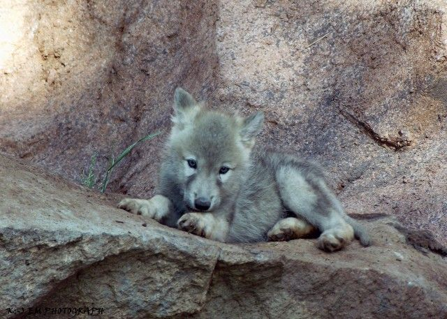 Image result for wolf pup lying down | evas pics | Wolf ...  Image result fo...