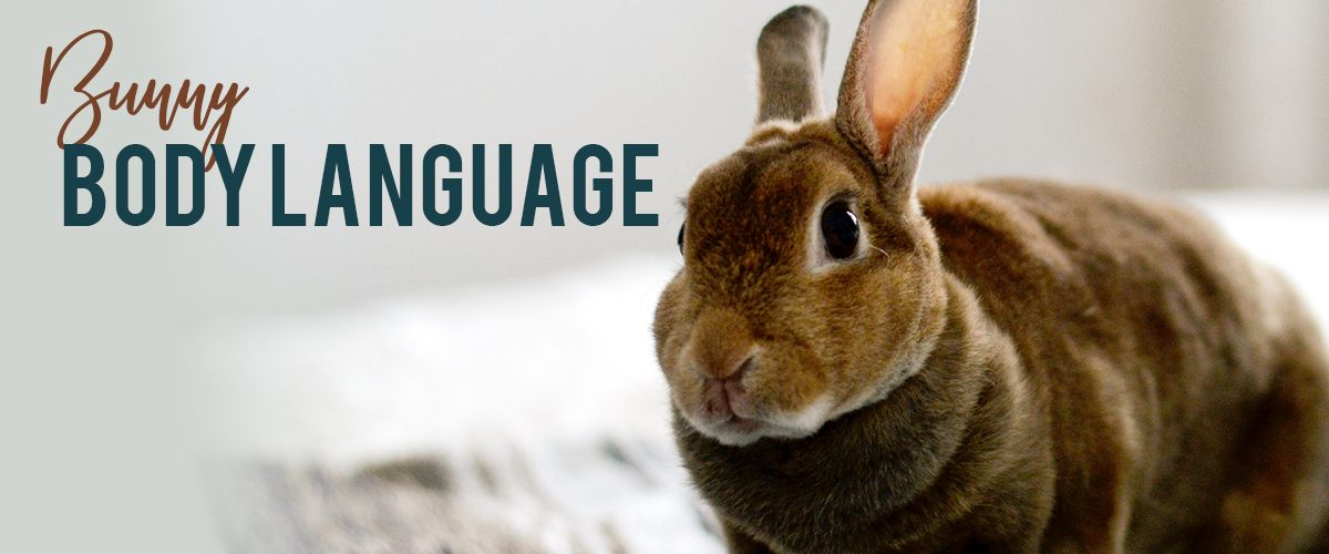 What Is Your Bunny Trying To Tell You Pet Rabbit Care Pets