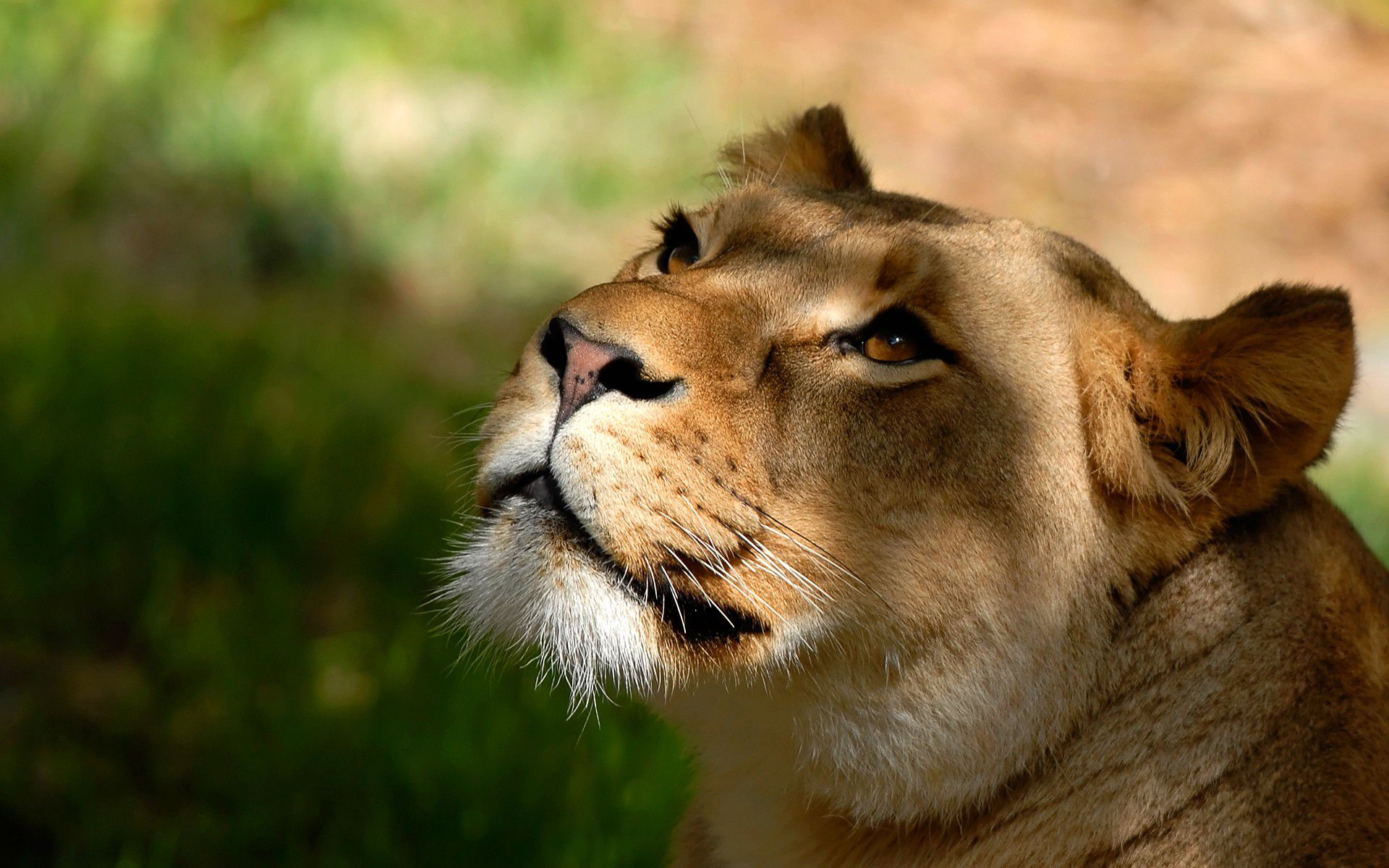Lioness Wallpapers Hd Wallpapers Pulse Lion Jungle Lion Lion