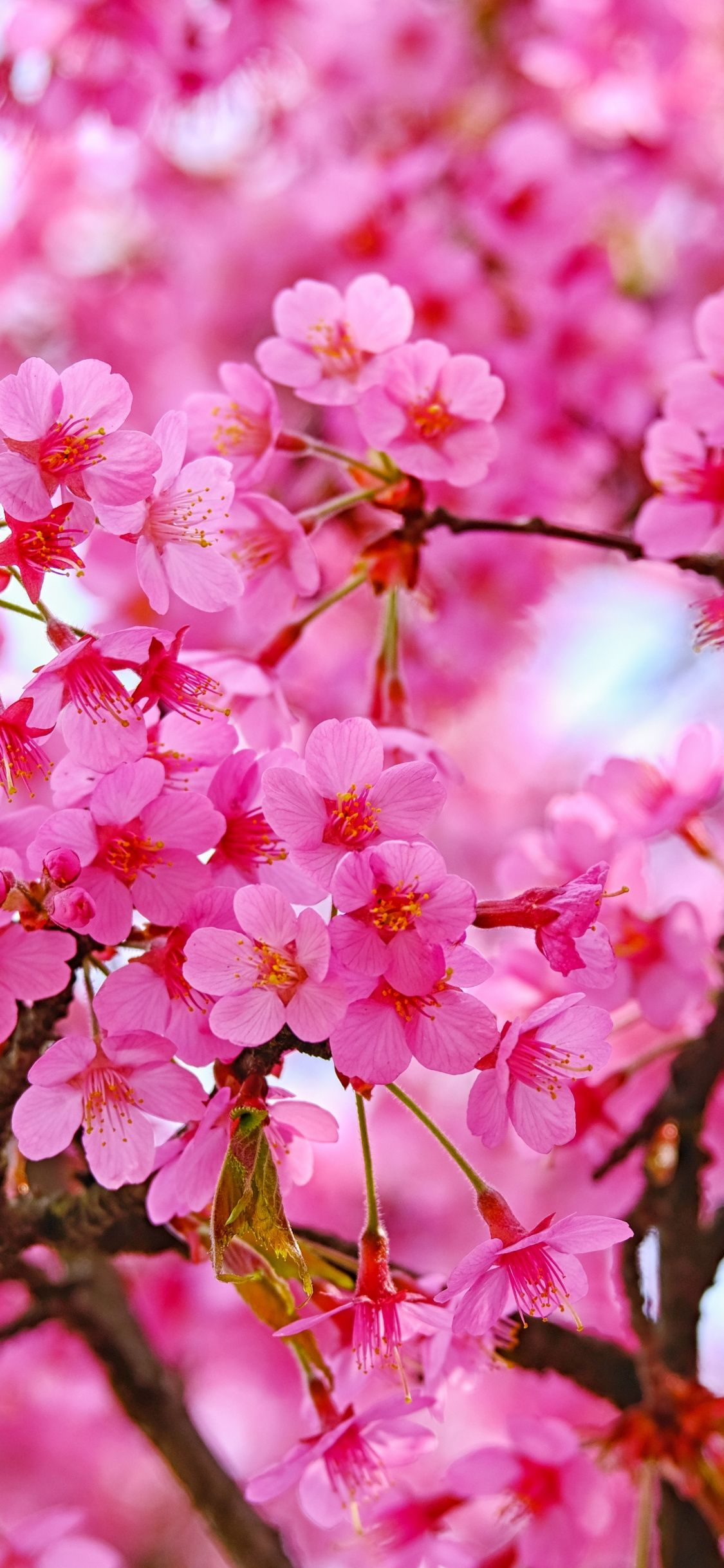 1125x2436 Cherry Blossom Pink Flowers Nature Wallpaper Cherry Blossom Wallpaper Iphone Beautiful Flowers Wallpapers Cherry Blossom Wallpaper