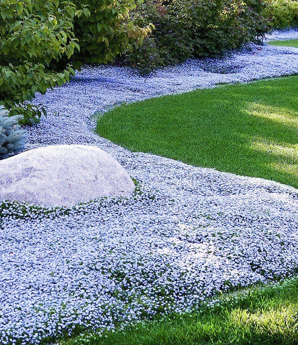 isotoma 39 blue foot 39 garten pinterest g rten pflanzen und leben unter freiem himmel. Black Bedroom Furniture Sets. Home Design Ideas
