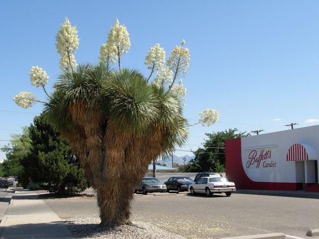 the desert edge: Yuccas Grandes