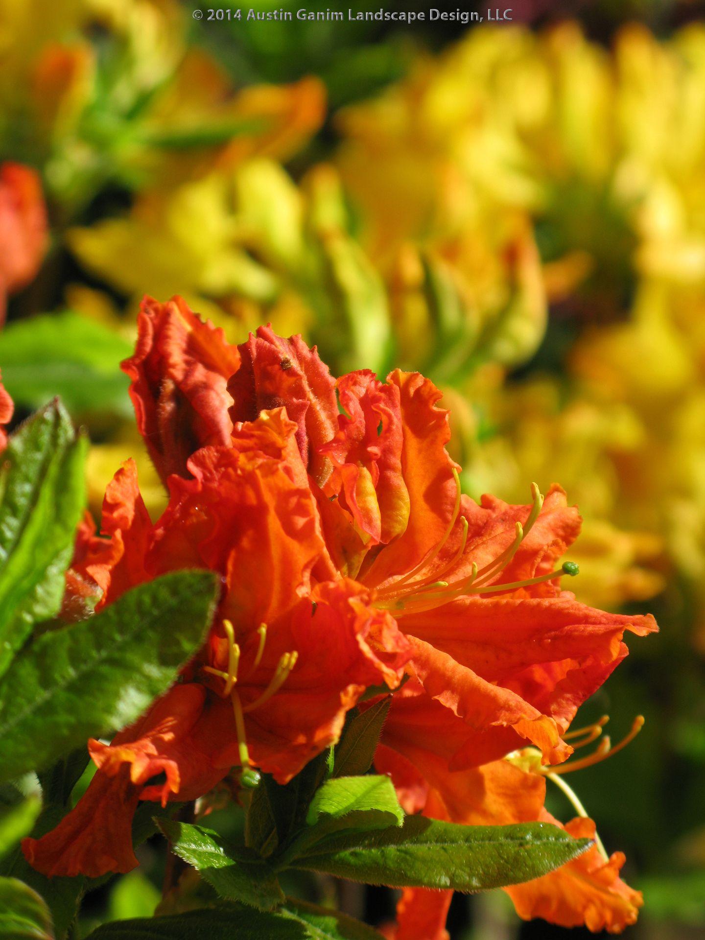 Rhododendron Gibraltar Orange Gibraltar Azalea Fragrant Spring