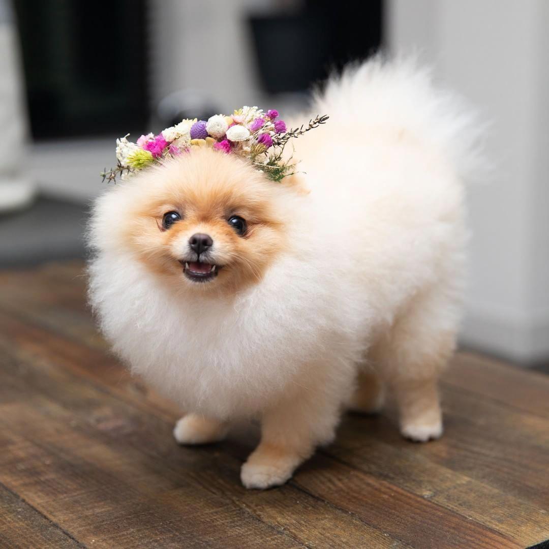 замечательные красивые фото собак шпица знак качества показывает