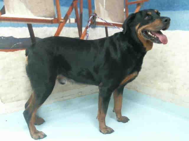 Rottweiler Dog For Adoption In Pasadena Tx Adn 520421 On