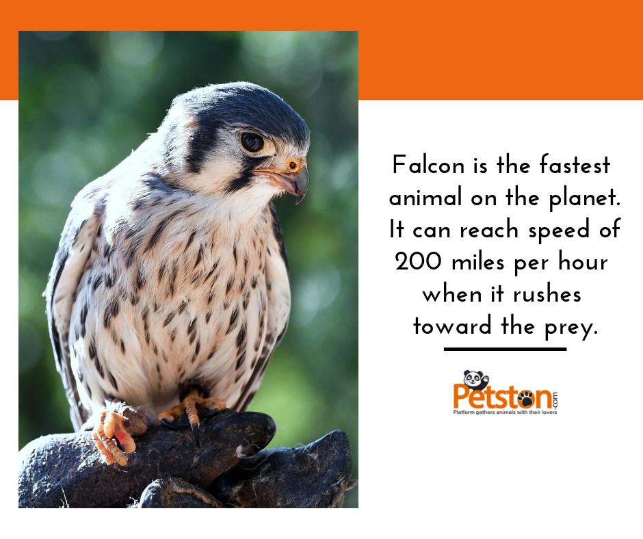 Falcon Falconlife Falcons Falconsofinstagram Falconaryindonesia Falconlover Bird Falconraces Falconrylife Forest Pets Petstag Animals Animal Memes