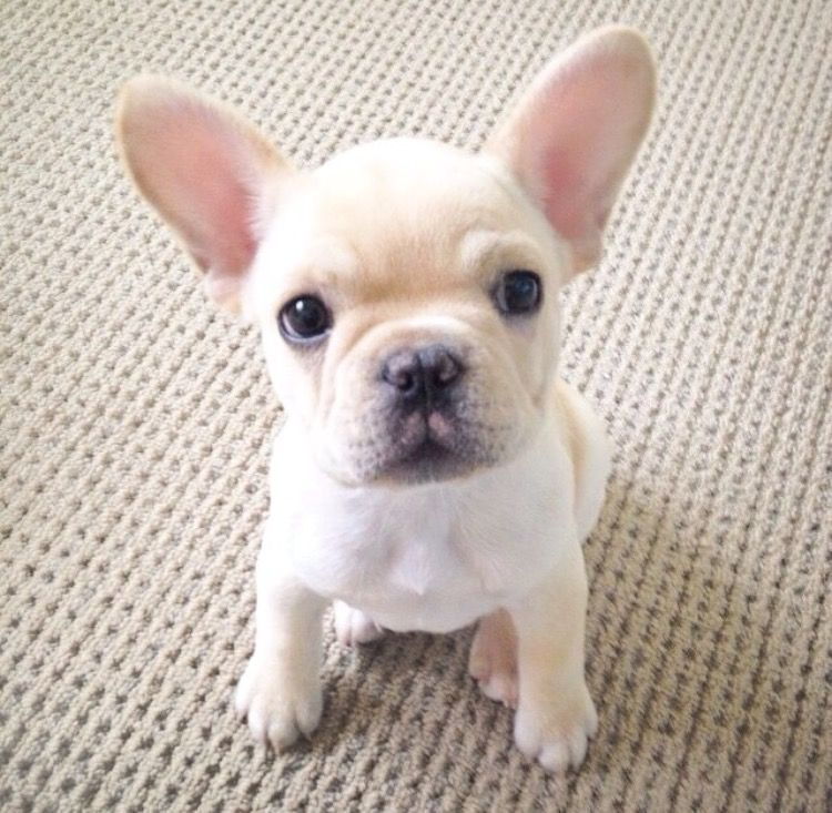 Milo, French Bulldog Puppy, Frenchiebutt Buldog