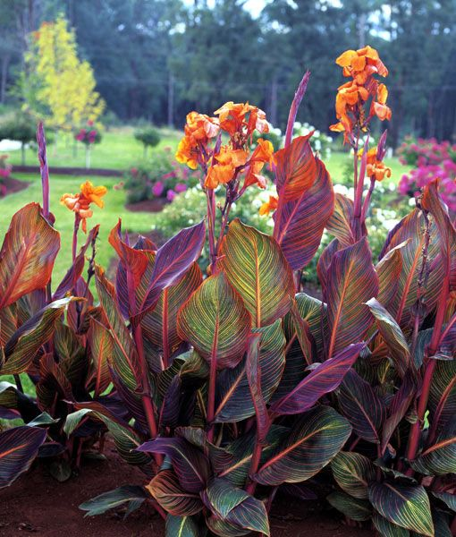 Types Of Lilies In Florida: Canna 'Phasion'...needs Full Sun