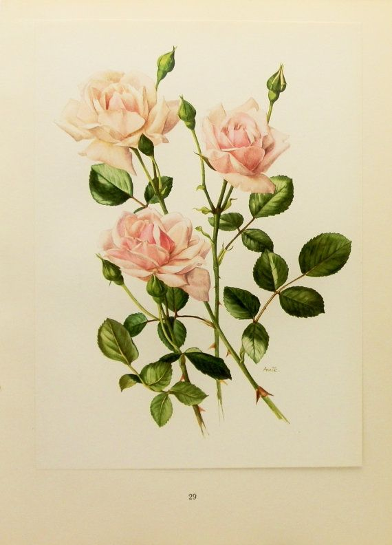 1960s New Dawn Rose Flower Print Vintage Botanical Illustration