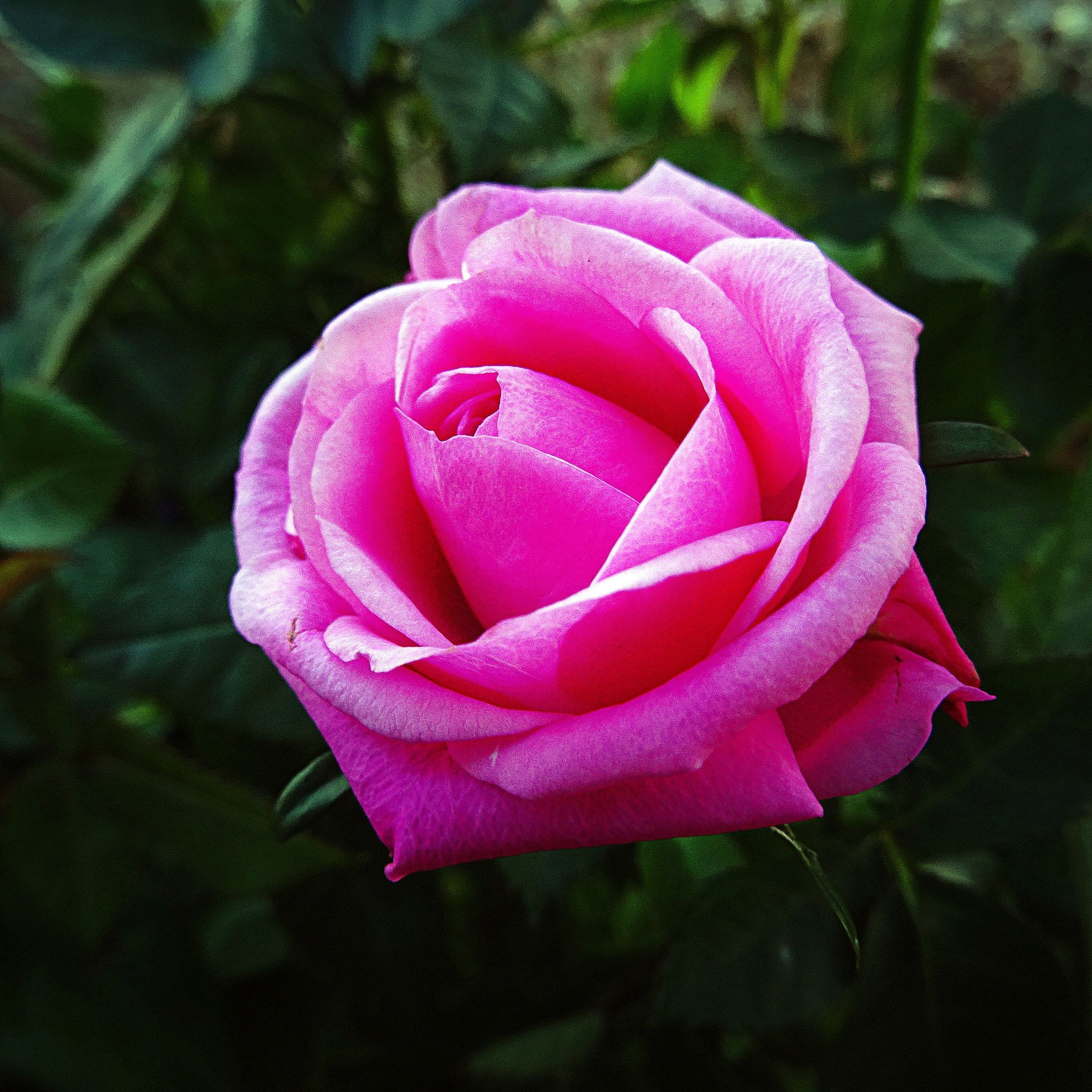 Pink rose by Olcay Sivri on 500px