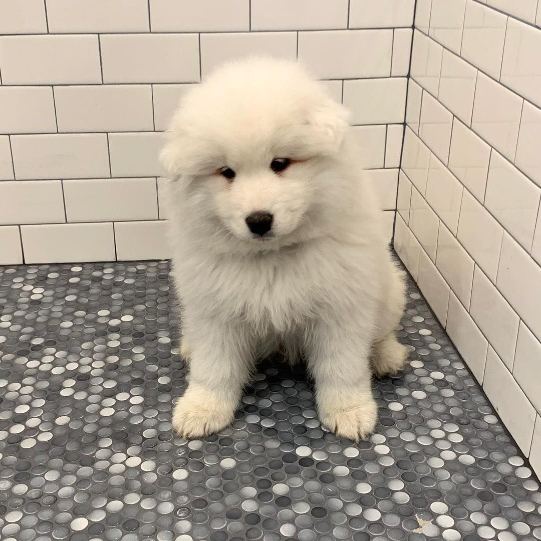 My Face When I Think About Bath Time Jasper Samoyed Puppy My Face When I Think About Bath Time Jasper Samoyed Puppy Bath Time Samoyed Puppies