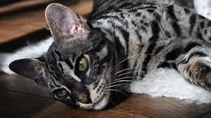 Resultado de imagen para bengal cat black