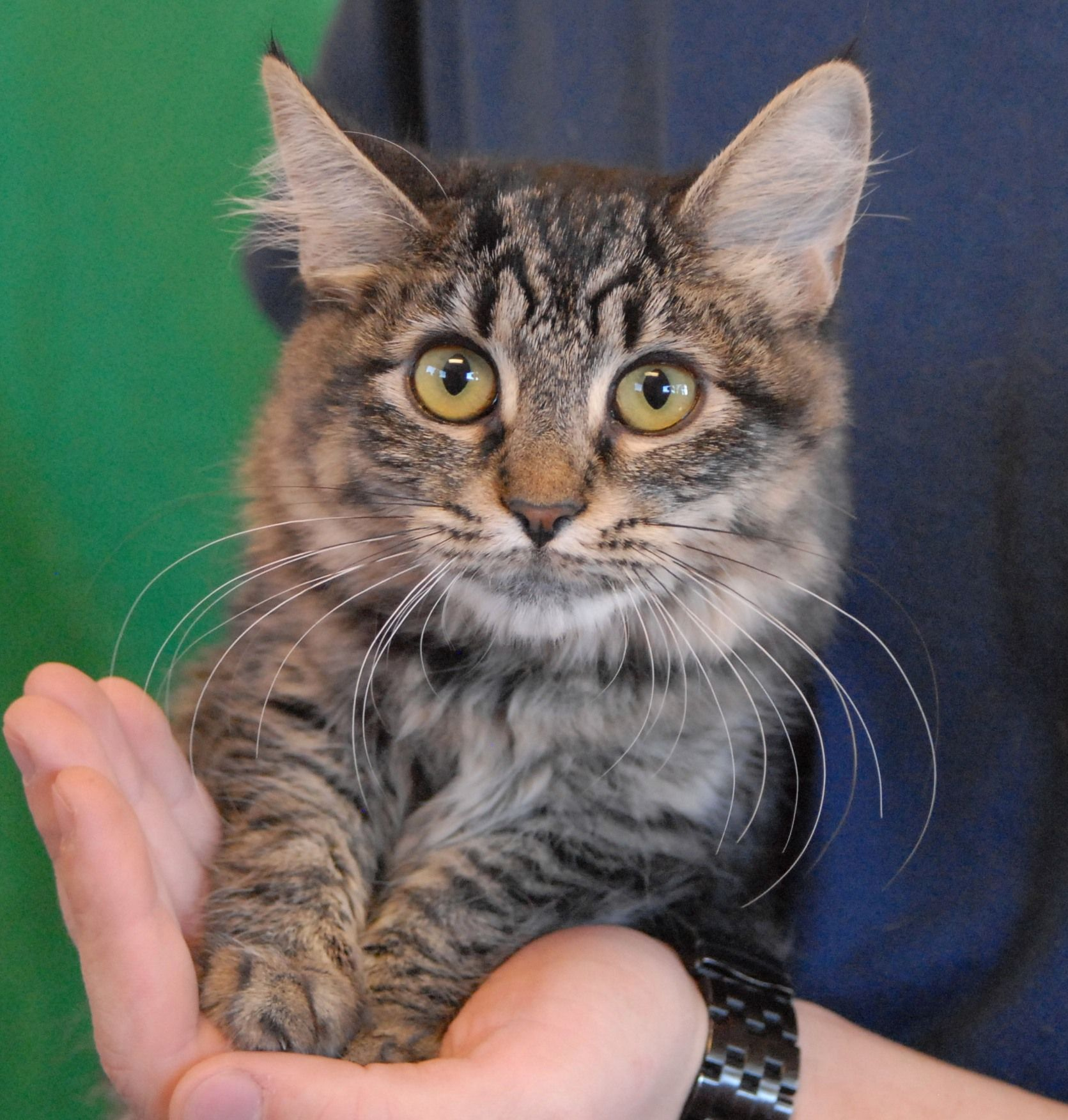 Pocahontas Loves Chin Scratches Pouncing On Her Toys Playing With Other Cats And Purring In Your Arms She Is A Go Kitten Proofing Cat Adoption Cat Shelter