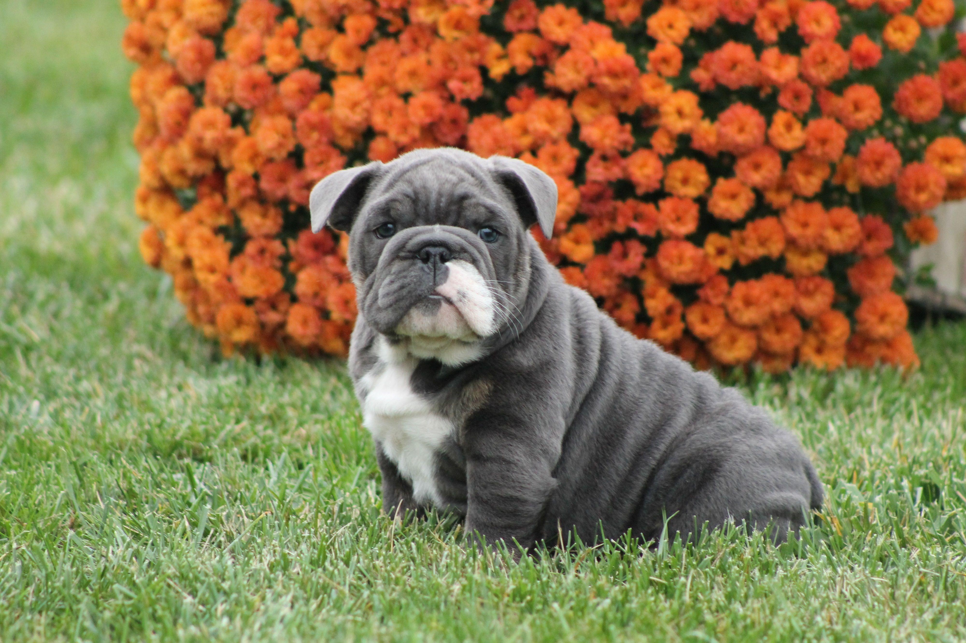 English Bulldog Puppies For Sale English Bulldog Puppies