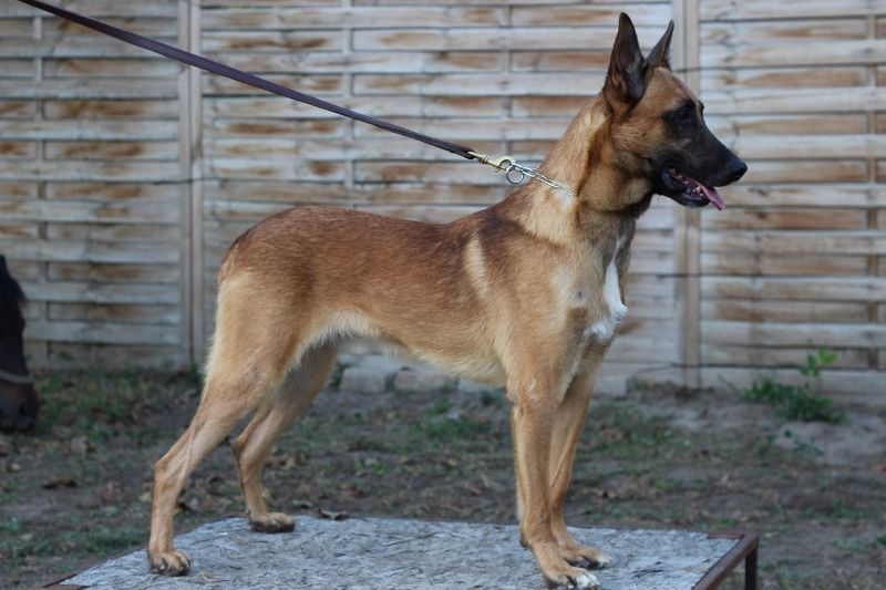 Looking For Trained Belgian Malinois Dog We Have A Large Range Of