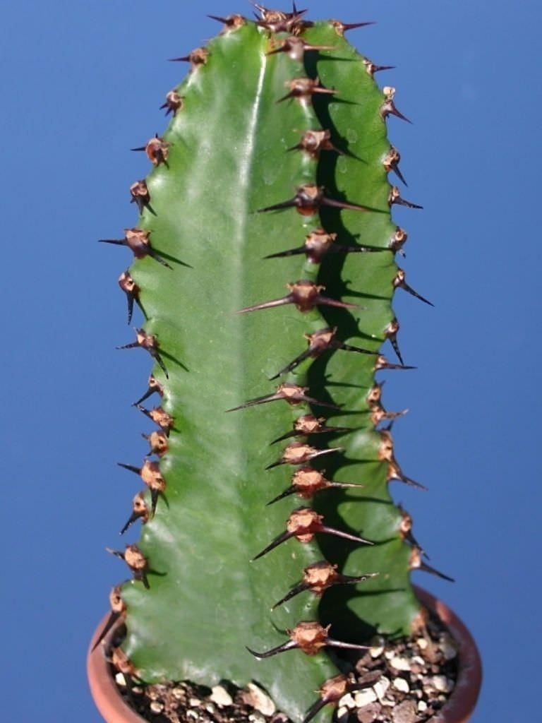 Euphorbia Ammak African Candelabra World Of Succulents Euphorbia Cactus Flower Succulents