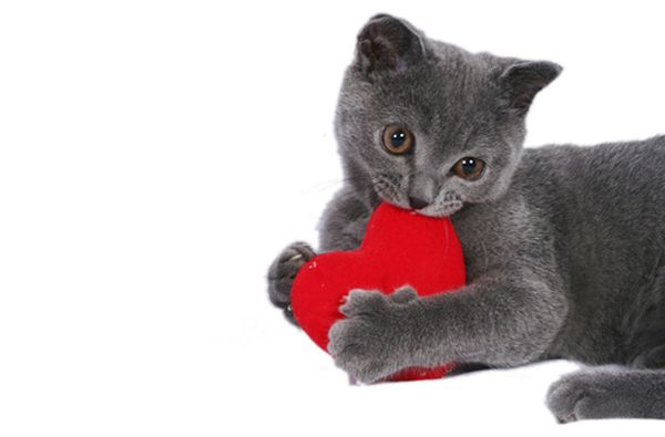 we rank the lovability of valentines day cat photos catster - Cat Valentines Day