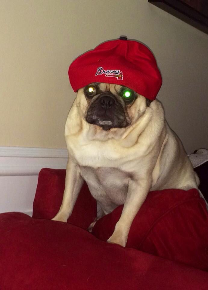 Fender The Pug Rocking His Daddy S Atlanta Braves Hat Braves