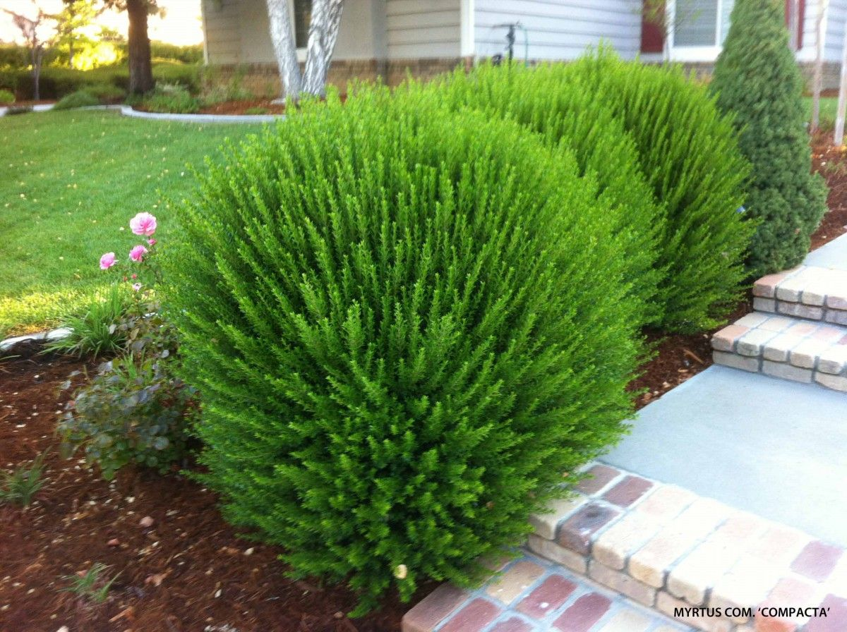 Medium textured shrubs compact myrtle myrtus for Landscape plants for full sun