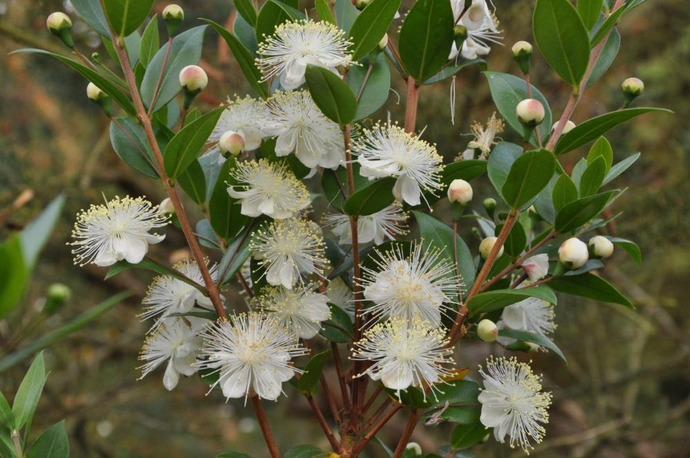 Myrtus Communis Common Myrtle In 2020 Fragrant Flowers Myrtle Flower Arrangements