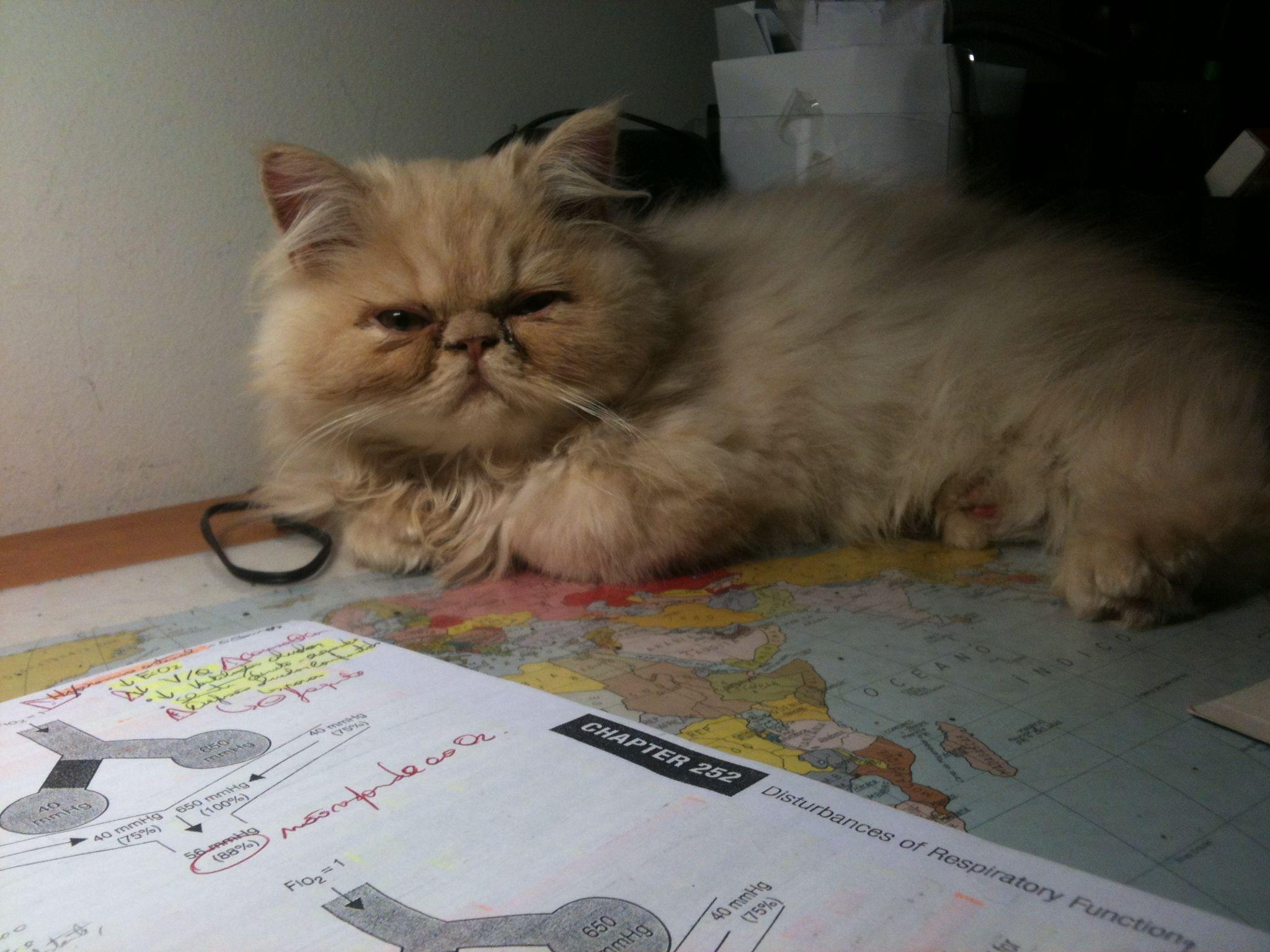 Persian cat Garfield Persian cat Zizinho & Co