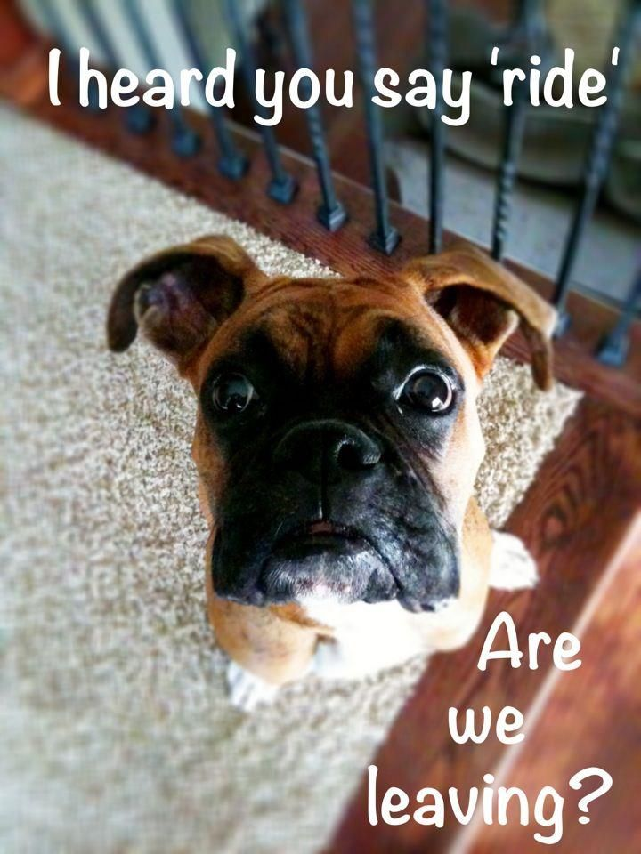 Funny Dogs Without Words Boxers Are Like...