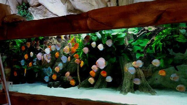 Sunday Afternoonfeeding The Piranha Discus Klle Zoo Karlsruhe