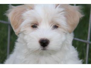 coton de tulear puppies for sale darling coton de tulear puppies