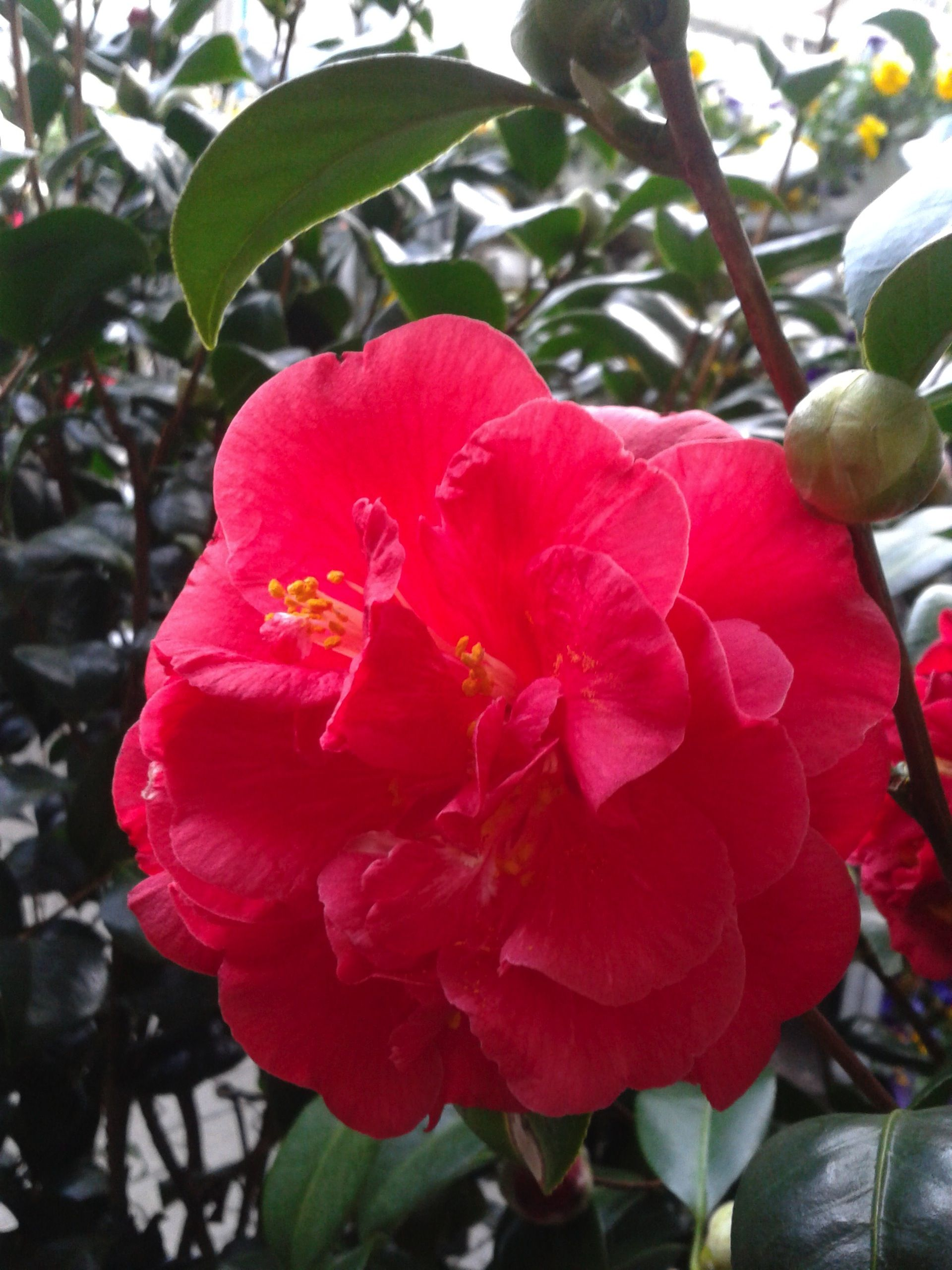 The state flower of Alabama Camellia Tree Alabama Pinterest