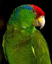Green Cheeked Amazon aka Mexican Red-Headed Amazon