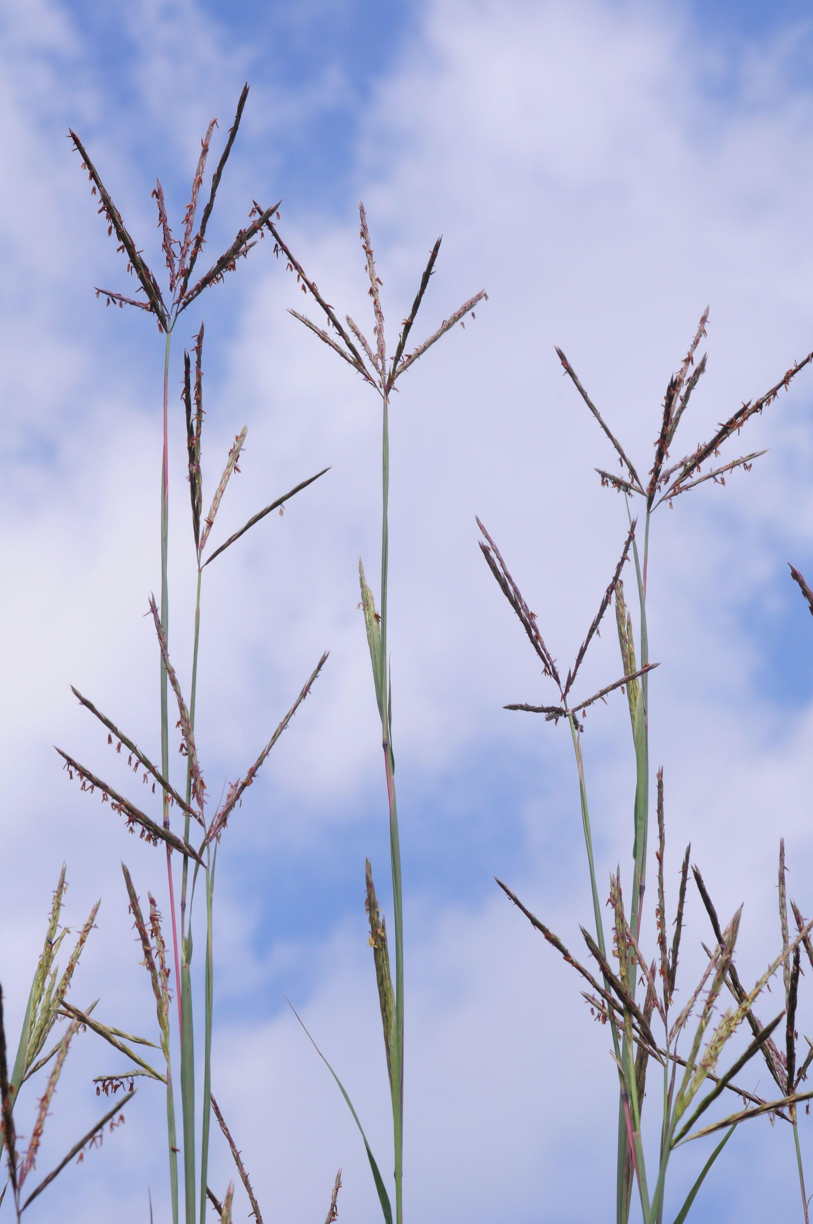 Big Bluestem, Prairie Grass