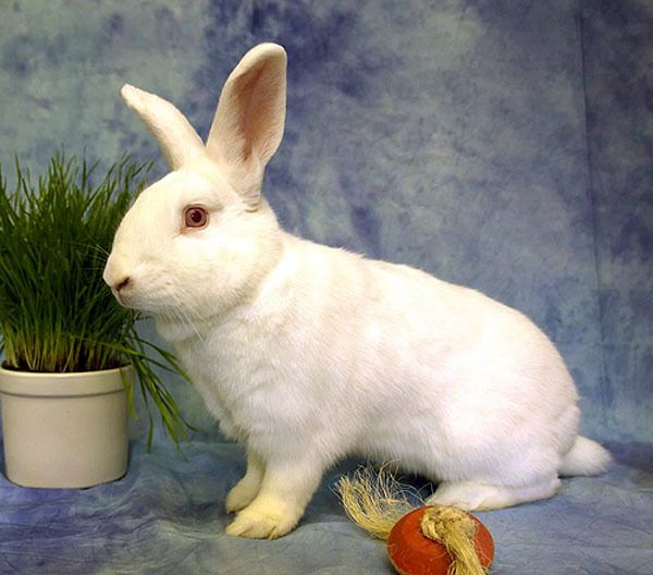 Available for adoption - Izzy is a male rabbit, New Zealand, located ...