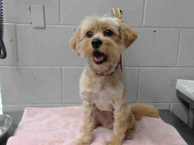 I Am A Female Tan Lhasa Apso Mix Shelter Staff Think I Am About 5 Years Old I Have Been At The Shelter Since Mar 14 2 Animal Shelter Humane Society Animals