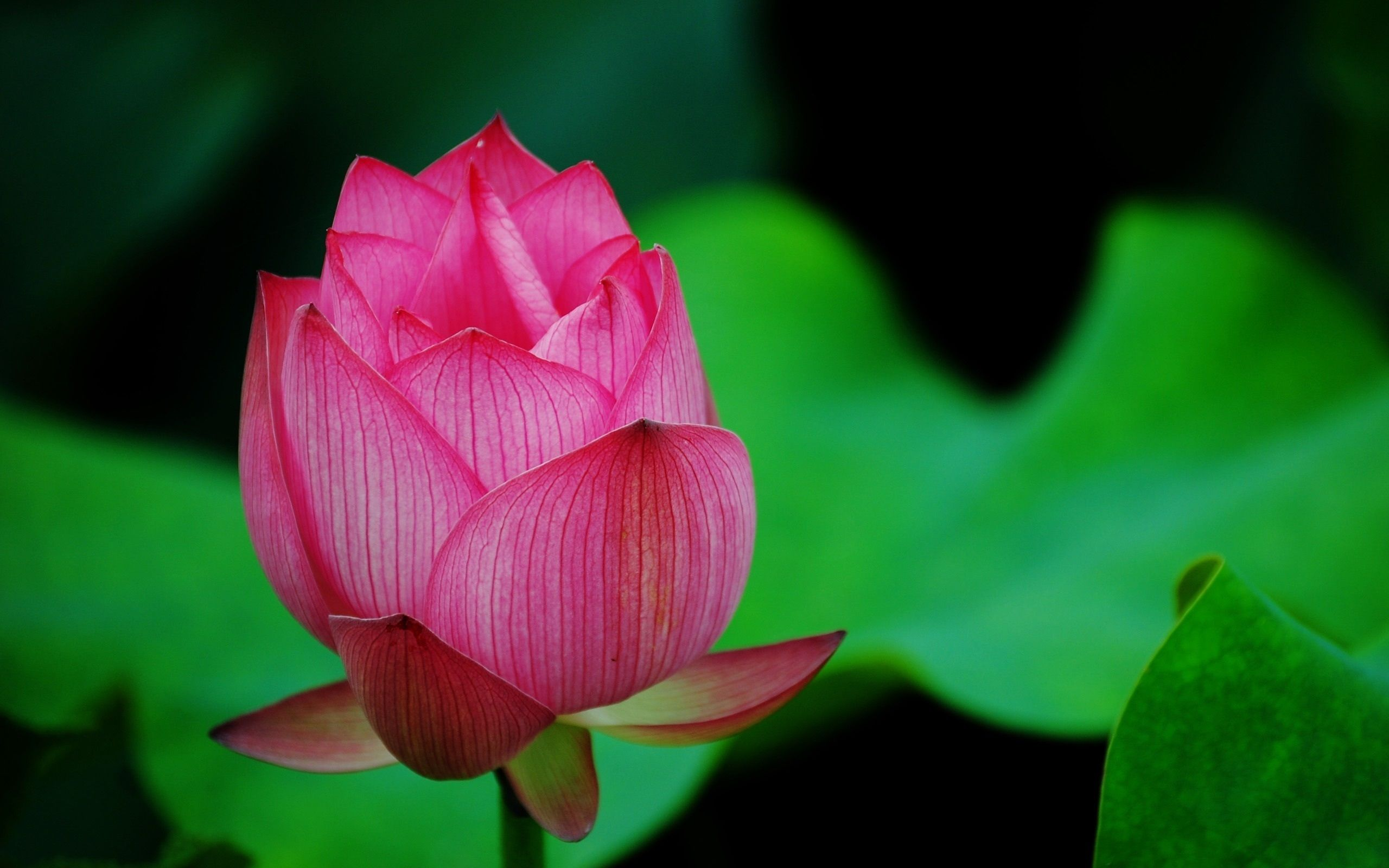 blooming lotus flower hd wallpaper louts flower