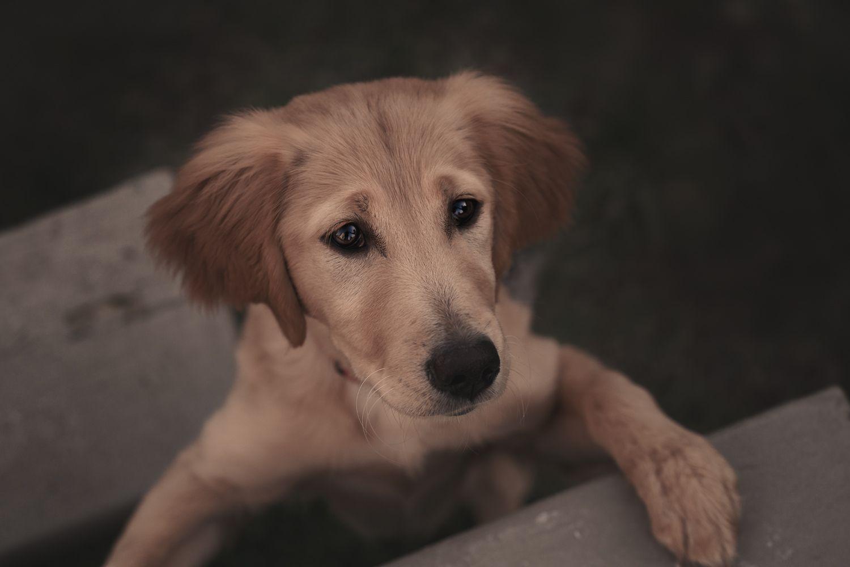 Pet photoshoot Dog photography Adorable puppy Golden