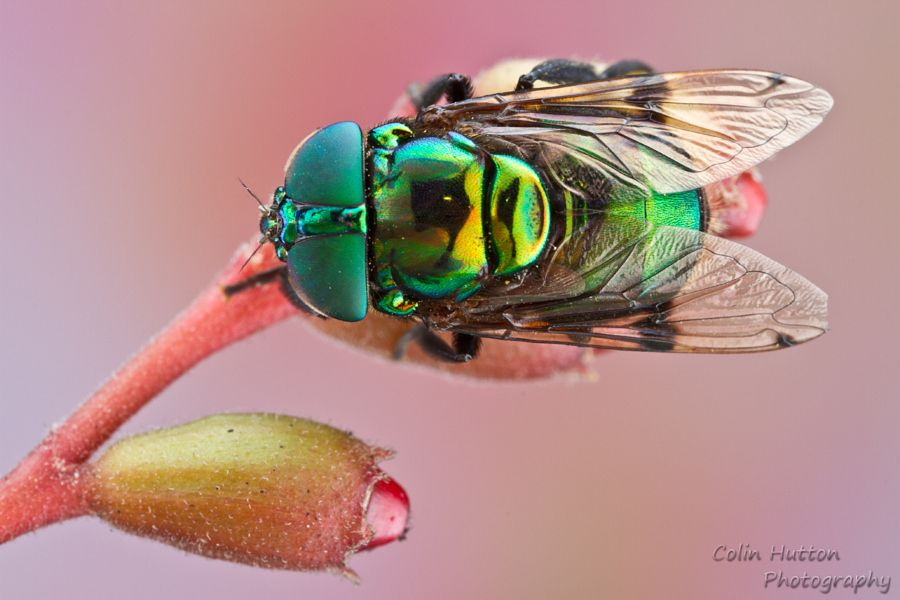 Syrphid fly - Ornidia obesa by Colin Hutton - Photo 138589285 - 500px