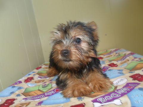 Yorkshire Terrier Puppy For Sale In Paterson Nj Adn 41334 On Puppyfinder Com Gender Female Age 1 Yorkshire Terrier Puppies Terrier Puppy Yorkshire Terrier