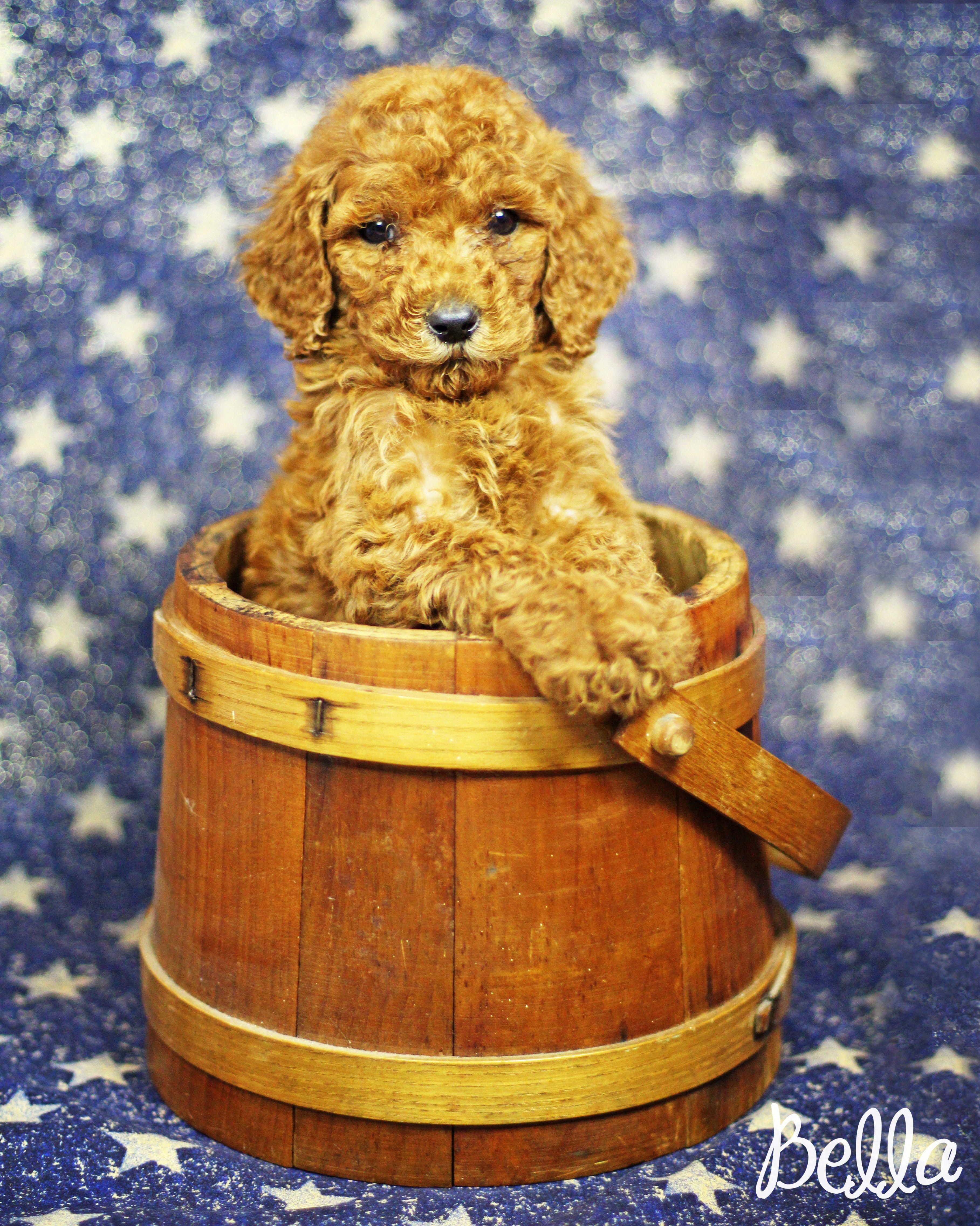 6 Week Old Red Standard Poodle Bella Sugar N Spice Poodle Puppies Dogs